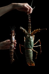 Woman hand holding fresh raw Tiger Prawn and spiny lobster on black background.