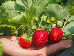Woman hand holding fresh red strawberry with leaves in the garden with copy space, Closeup shot photo.