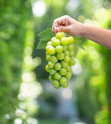 Woman Hand holding Green grape on blur background, Shine Muscat Grape with leaves on natural farm background,