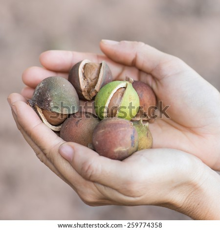 woman hand holding macadamia nut in natural