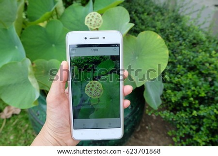 Woman hand holding white smartphone with Lotus flower with seedpod in the phone #623701868