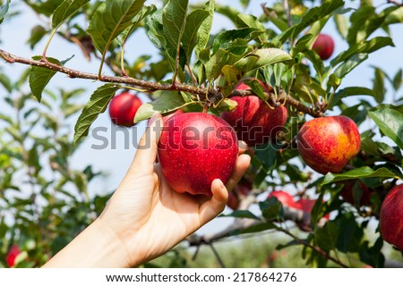 woman hand picking an apple - Shutterstock ID 217864276