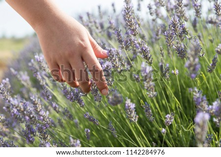 Woman hand touching lavender flowers on the field, with sunlight rays in Kuyucak, Lavender Scented Field in Isparta, Turkey