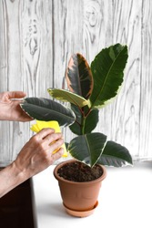 Woman hand wipe dust off the leaves with a yellow wet soft cloth. Right taking care of indoor rubber tree (ficus elastica) plant. White wooden texture on the background. Vertical image.