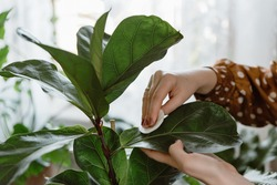 Woman hand wiping dust off green leaves of fiddle leaf fig, ficus lyrata. Woman cleaning indoor plants, taking care of houseplants. Growing plants at home