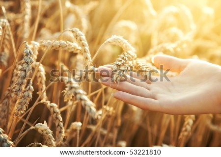 Woman hand with ear of wheat. Sunset light.