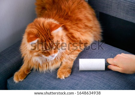 Photo of  Woman hand with Lint roller removing animal hairs and fluff from gray couch. Ginger cat lying near.