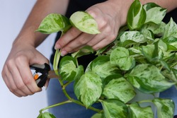 woman hands clipping pothos plant