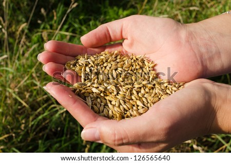 woman hands handful hold freshly harvested ripe wheat cereal grain in autumn.