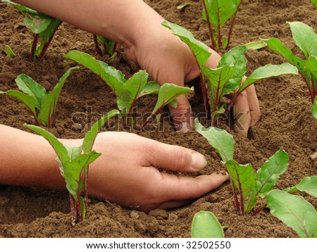 woman hands hoeing beetroot sprouts on the vegetable bed