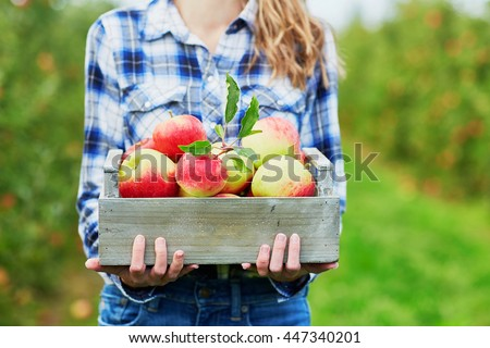 Woman hands holding a crate with fresh ripe organic apples on farm
