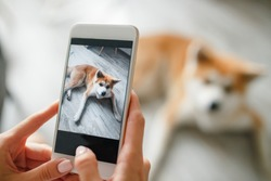 Woman hands holds a smartphone and takes a picture of  dog. Woman hand with mobile smart phone taking a photo of a cute akita inu dog over white background. Happy dog looking at the camera