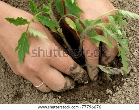woman hands planting tomato seedlings