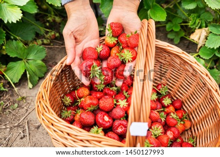 Woman Hands Putting Fresh Picked Strawberries Into The Basket