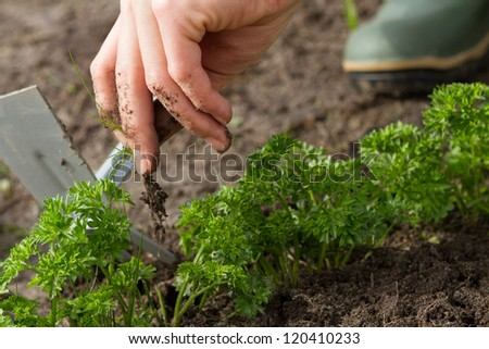 woman hands weeding parsley bed - stock photo