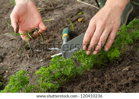 woman hands weeding parsley bed
