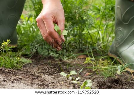 woman hands weeding the Japanese radish at the kitchen garden