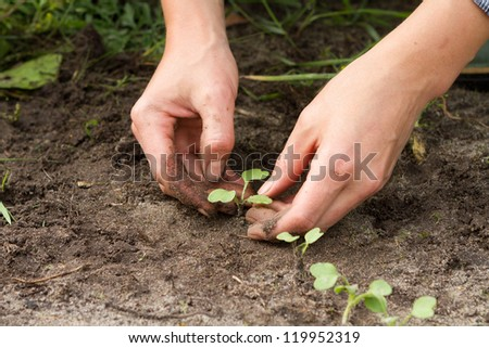 woman hands weeding the sprouts of Japanese radish at the kitchen garden