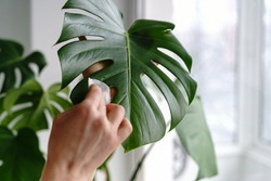 Woman hands wiping the dust from houseplant leaves, taking care of plant Monstera using a cotton pad, moisturizes during heating period, selective focus, close up. Home gardening.