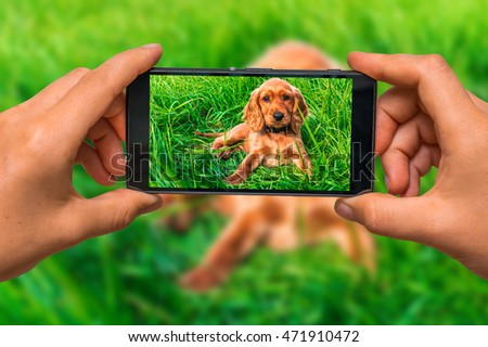 Woman hands with mobile cell phone to take a photo of english cocker spaniel puppy lying on the green grass