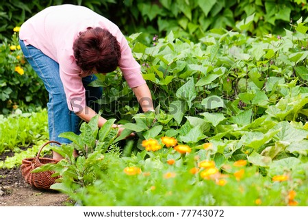 Woman harvesting cucumbers in her garden, cutting them with a knife and putting them in a basket