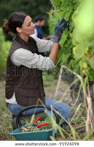 Woman harvesting grapes.