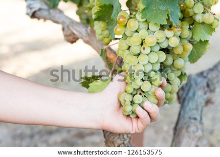 Woman harvesting green grapes in the vineyard