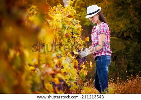 woman harvesting the grape