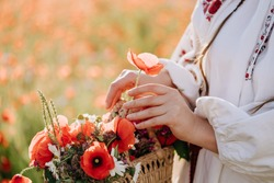 Woman Harvesting Wildflowers in Wicker Basket Close-up Photography. Herbal Agricultural Farmer Girl Holding Basket with Poppies, Chamomiles, Lavender and Wheat Ears. Blurred Background