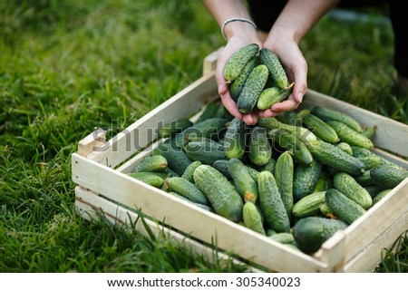Woman holding a  freshly harvested cucumbers. Locavore movement, local farming, harvesting concept