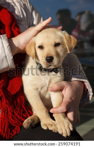Woman holding cute white Labrador puppy #259074191
