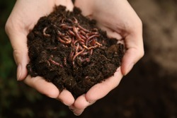 Woman holding worms with soil, closeup