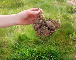 Woman holds the dahlia rhizome in the garden.