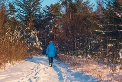 Woman in blue coat walks on a path in sunny winter forest. Rear view.