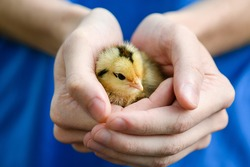 Woman in blue dress hold small cute yellow newborn baby chicken hen in hands, warming up, farm birds