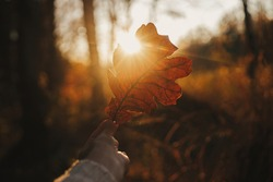 Woman in cozy sweater holding beautiful oak brown leaf in sunset rays in autumn woods. Beautiful autumn leaf in woman hand in evening sunlight. Autumnal background. Space for text