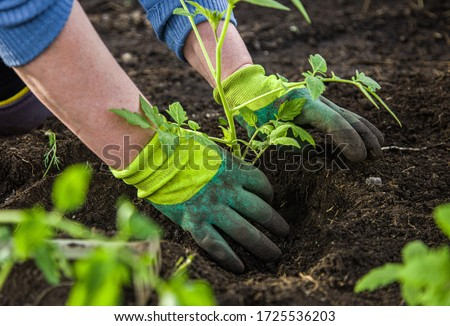 woman in gloves plants a bush of tomatoes in the ground in a greenhouse. spring work with seedling in the garden