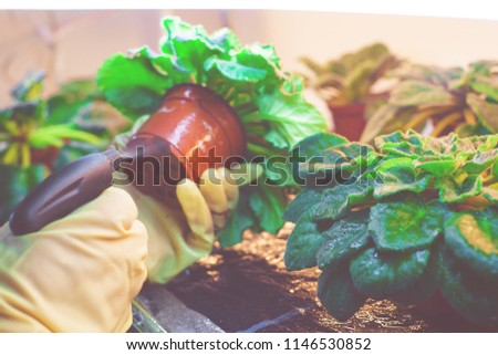 Woman in rubber gloves sprayed plants from pests in a home greenhouse. Pest control. Female spraying flowers #1146530852