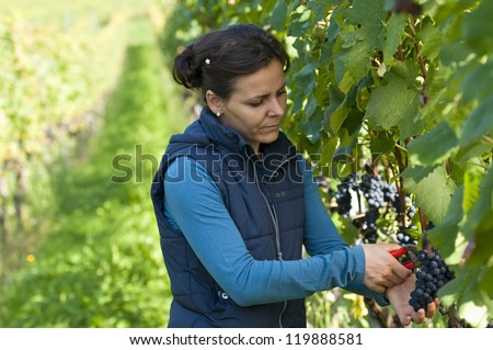 Woman in the vineyard picking grapes during wine harvest