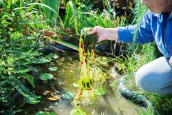 woman is cleaning garden pond from green algae