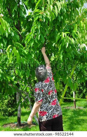 woman is picking off fruit from the tree.