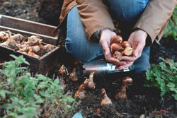 Woman is planting spring flowering bulbs in a garden in the Fall