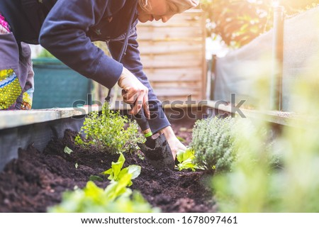 Woman is planting vegetables and herbs in raised bed. Fresh plants and soil. Сток-фото ©