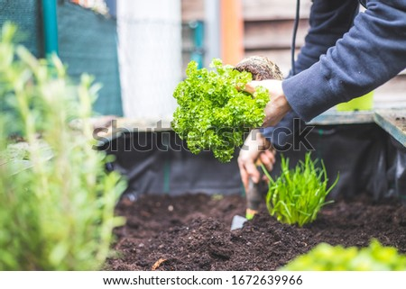 Woman is planting vegetables and herbs in raised bed. Fresh plants and soil. Parsley. Сток-фото ©