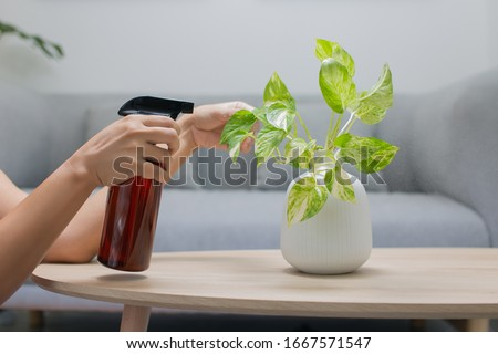 Woman is spraying Liquid fertilizer the foliar feeding on the golden pothos on the wooden table in the living room. The Epipremnum aureum in a ceramic vase on the table in the minimalist room style Foto stock ©