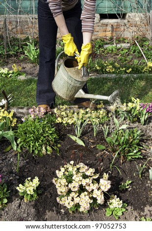 Woman is watering primroses with metal waterpot