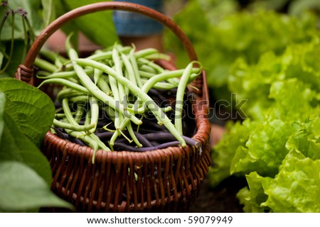 Woman - just feet to be seen - harvesting green  string beans in her garden, cutting them with a knife and putting them in a basket, FOCUS ON THE BASKET