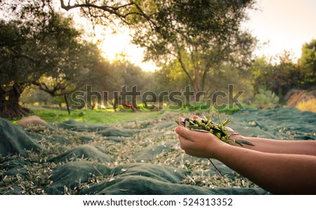 Woman keeps some of the harvested fresh olives in a field in Crete, Greece for olive oil production, using green nets, at sunset.