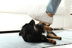 Woman kicking dog at home, closeup. Domestic violence against pets