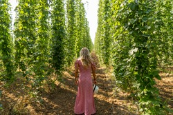 Woman model walking on hops field with her coloful dress. Thousand of plants growing to make beer. Traditional Hop garden with its great symmetry.
